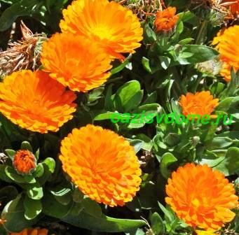 Описание цветка календула