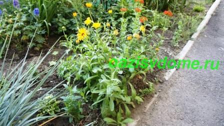Когда сажать семена ноготков в грунт 955