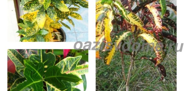 Кротон: как ухаживать в домашних условиях, размножение и фото цветка