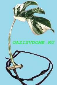 Черенок монстеры с листом и воздушным корнем