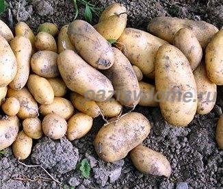 Когда сажать картофель в 2018г 56