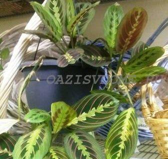 Уход за марантой в домашних условиях, фото и размножение цветка