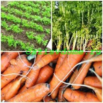 Способы и сроки посадки моркови, выращивание и уход в открытом грунте