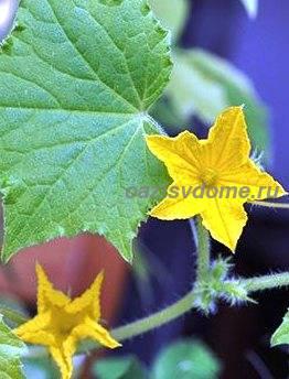 Цветение огурца в открытом грунте