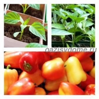 Посадка сладкого перца в теплице в мае-июне: сроки и схемы высадки, удобрение и подготовка почвы