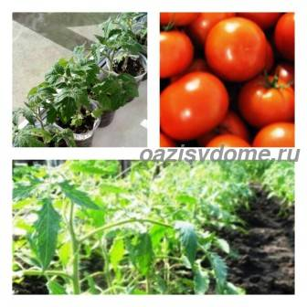 Правила и время высадки помидоров в открытый грунт: когда и как сажать рассаду томатов в грунт, подготовка почвы и схемы посадки