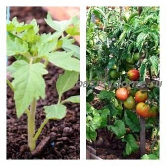Правильная посадка помидор в теплице: подготовка почвы, схема и правила высадки