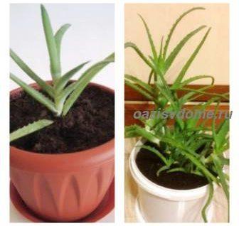 Как пересадить алоэ в домашних условиях пошагово: посадка и размножение алоэ листом, черенками, верхушкой