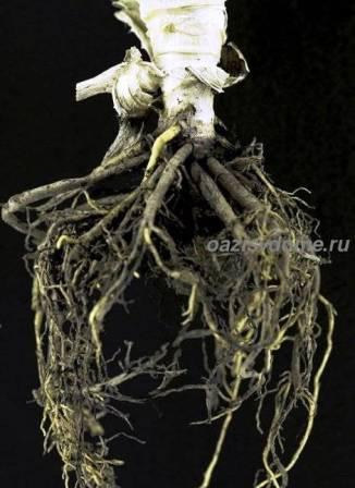 Детка алоэ с корнями