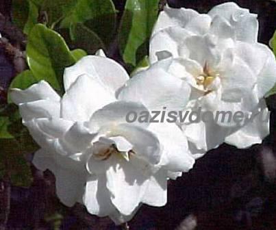 Цветы гардении