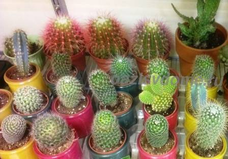 Кактусы: уход, фото, выращивание из семян, как поливать в домашних условиях и чем удобрять