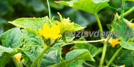 Желтеют листья у огурцов: причины, что делать, чем поливать и обработать огурцы, чтобы не желтели