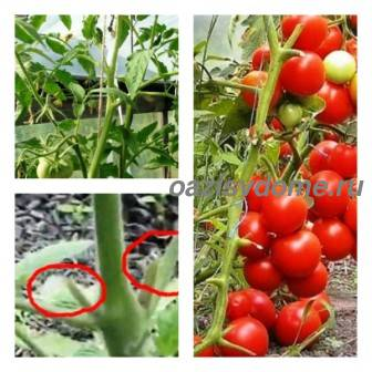 Правильное пасынкование помидор в теплице и открытом грунте: схема формирования томатов, фото