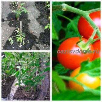 Как правильно и сколько раз поливать помидоры в открытом грунте