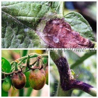 Фитофтора: народные средства борьбы, обработка от фитофтороза помидоров, картофеля