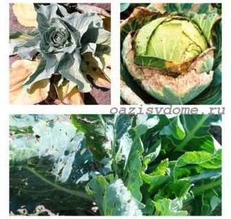Почему желтеют листья капусты и что делать