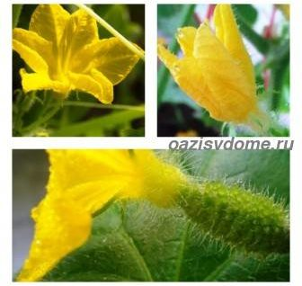 Почему огурцы цветут пустоцветом: что делать, чем полить, как избавиться от пустоцветов