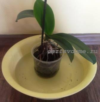 Нижний полив орхидеи фаленопсис