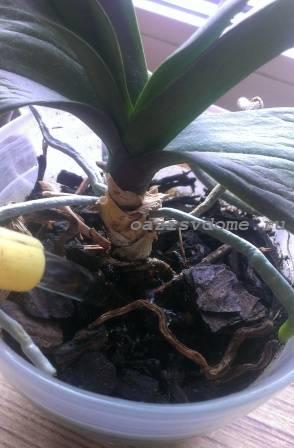 Полив орхидеи лейкой
