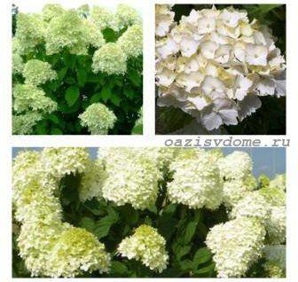 Подкормки для пышного цветения гортензии