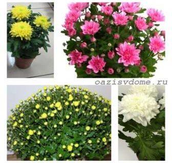 Хризантема в горшке: уход после покупки, в период роста и зимой, пересадка и размножение