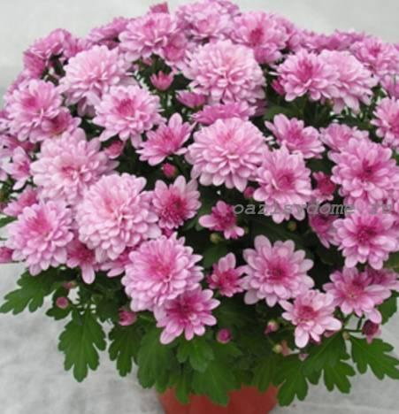 Цветок хризантема ухаживать