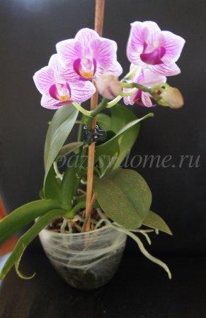 Орхидея в стеклянном горшке