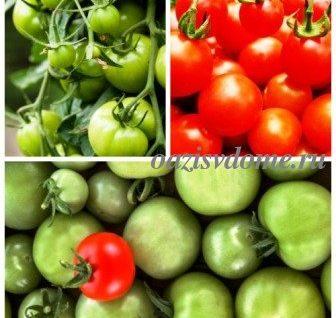 Когда и какие собирать помидоры, способы дозревания зеленых томатов