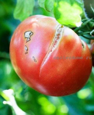 Плоды томатов в теплице трескаются