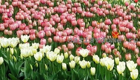 Цветник с тюльпанами
