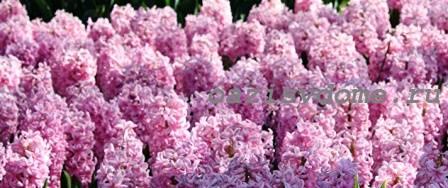 Розовые гиацинты в саду