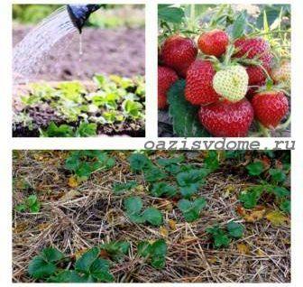 Уход осенью за клубникой садовой, подготовка к зиме, обрезка и укрытие