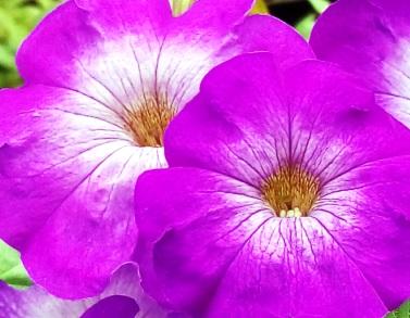 Цветы петунии Джоконда
