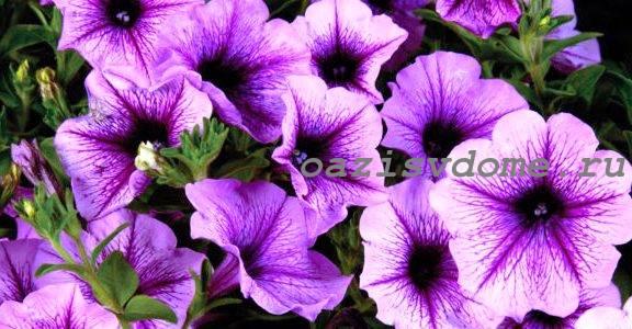 Purple_petuniya_opera