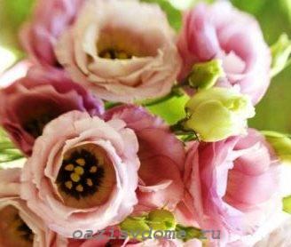 Розовые цветы эустомы