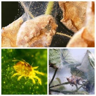 Борьба с паутинными клещами на цветах: лучшие народные средства и препараты