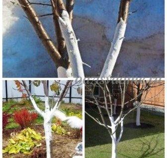 Когда лучше белить деревья - осенью или весной и надо ли вообще