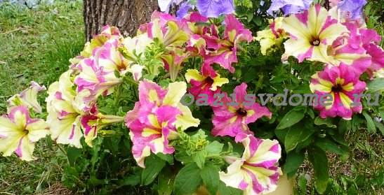Разноцветные цветы петунии Софистика