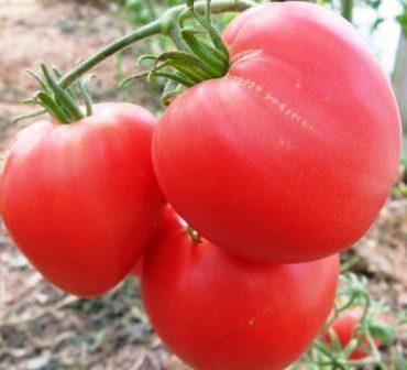 Сорт помидоров Бычье сердце