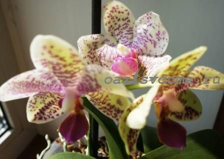 Фото орхидеи в доме