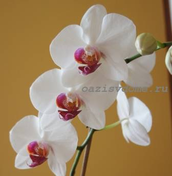 Почему у орхидеи начинают желтеть листья: причины, что делать