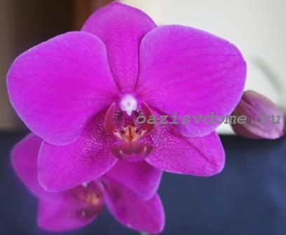 Цветущий фаленопсис