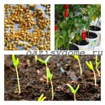 Выращивание острого перца дома