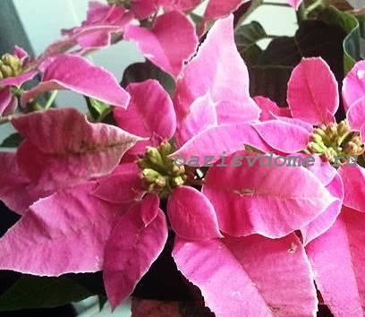 Фото розовой пуансетии