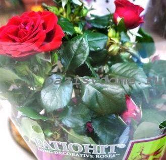Почему у комнатной розы желтеют и опадают листья – что делать?