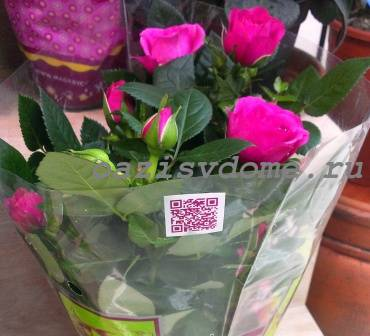 Комнатная роза из магазина