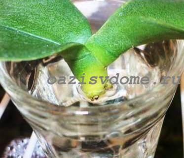 Реанимация орхидеи с помощью янтарной кислоты