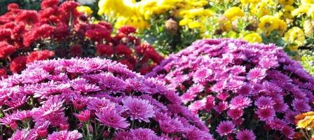 Фото цветущих хризантем