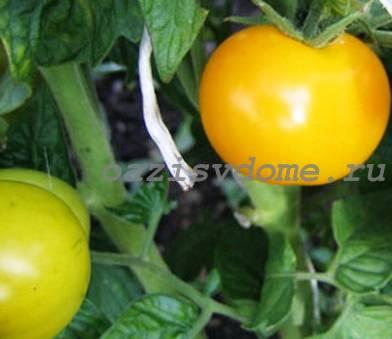 Фото томатов сорта Антошка