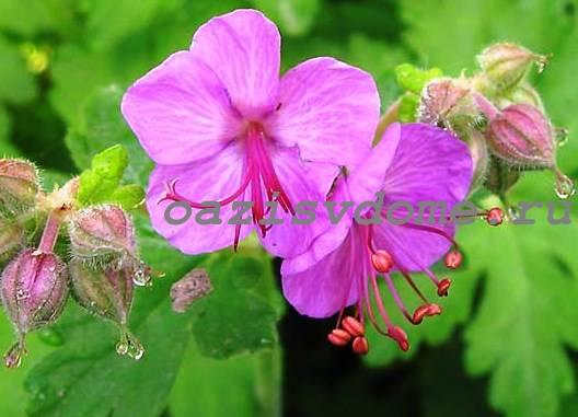 Низкорослый цветок балканская герань